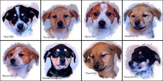 Cleopatra's 8 puppies are ready for adoption at Humane Society of Sedona